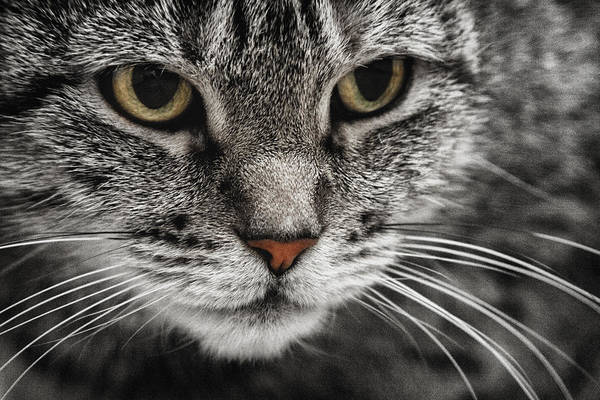 Cat art print featuring the photograph attentive cat in black and white with color