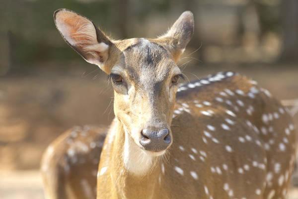 Deer Art Print featuring the photograph Bad Haircut Day by Douglas Barnard