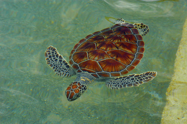 Sea Turtle Art Print featuring the photograph Beautiful Sea Turtle by Stacey Robinson