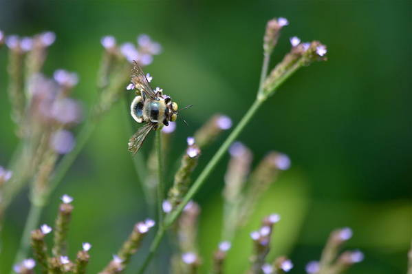 Bee Art Print featuring the photograph Bee On End by Kathy Gibbons