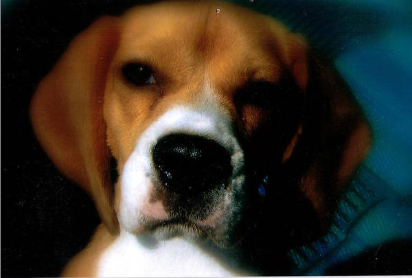 Beagle Art Print featuring the photograph Bella The Beagle by Tanya Stringer