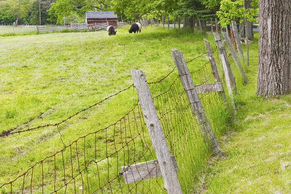 Cow Art Print featuring the photograph Belted Galloway Cows Farm Rockport Maine by Keith Webber Jr