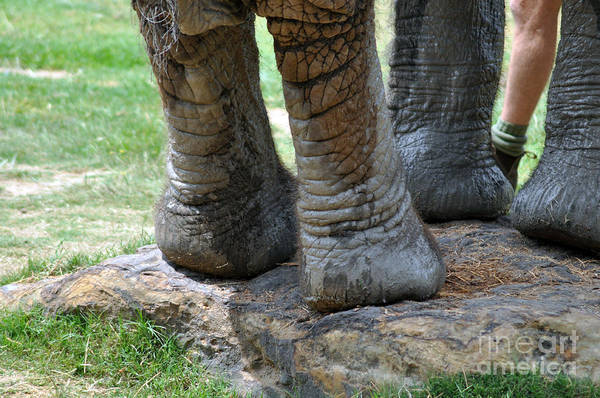 Elephant Art Print featuring the photograph Best Foot Forward by Joanne Kocwin