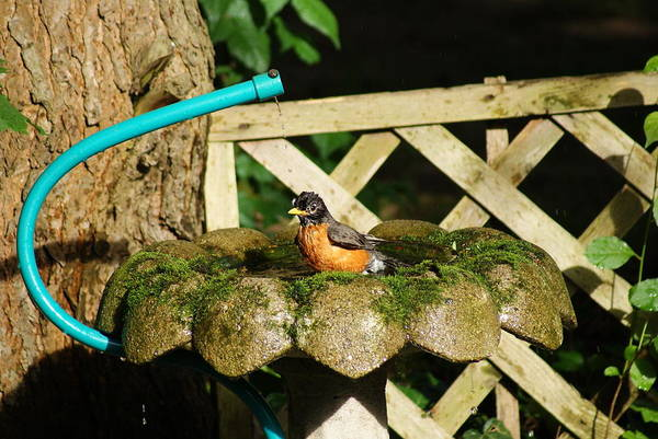 Bird Art Print featuring the photograph Birdbath Shower Ll by Margie Avellino