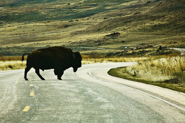 Utah Art Print featuring the photograph Bison Crossing Highway by Marilyn Hunt