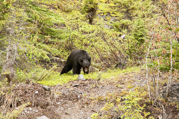 Canadian Rockies Art Print featuring the photograph Black Bear 1899 by Larry Roberson
