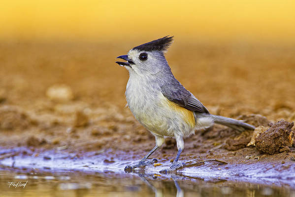 Titmouse Art Print featuring the photograph Black Crested Titmouse by Fred J Lord