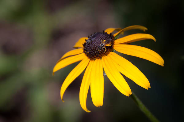 Flora Art Print featuring the photograph Black Eyed Susan With Young Bee by Lynne Jenkins