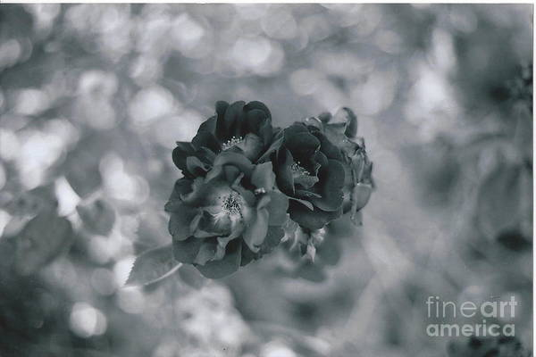 Roses Art Print featuring the photograph Black Rose With Bokeh by Catherine Conroy