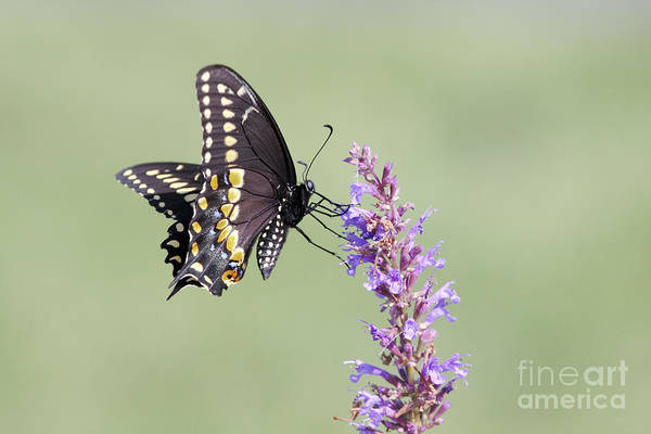 Black Swallowtail Art Print featuring the photograph Black Swallowtail Butterfly Feeding by John Van Decker
