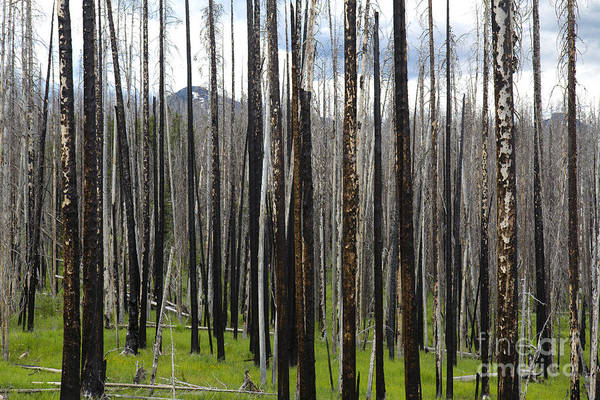Yellowstone Art Print featuring the photograph Blackened Forest by Colleen Johnson