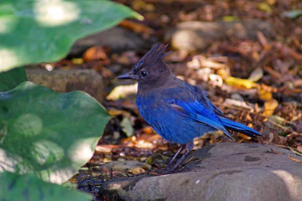 Bird Art Print featuring the photograph Blue Bird by Jake Johnson