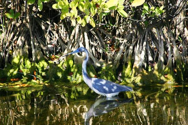 Art Print featuring the photograph Blue Heron by Jeanne Andrews