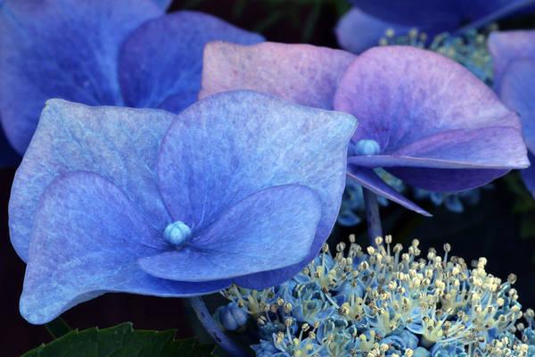 Hydrangea Art Print featuring the photograph Blue Hydrangea. by Terence Davis