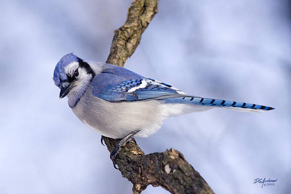 Blue Jay Art Print featuring the photograph Blue On Blue by Don Anderson