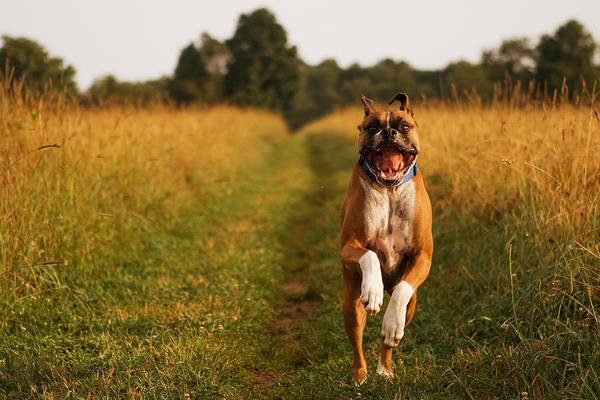 Boxer Art Print featuring the photograph Boxer Dog Running Happily Through Field by Stephanie McDowell