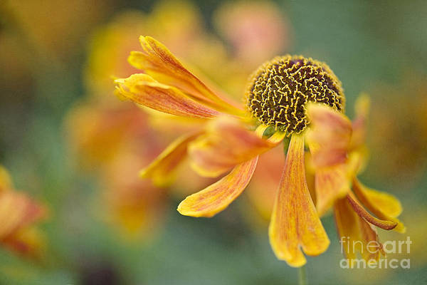 Helenium 'karneol' Art Print featuring the photograph Bright And Breezy by Jacky Parker