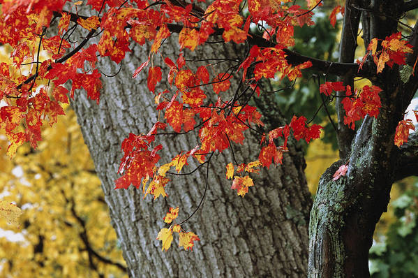 Outdoors Art Print featuring the photograph Bright Red Maple Leaves Against An Oak by Tim Laman