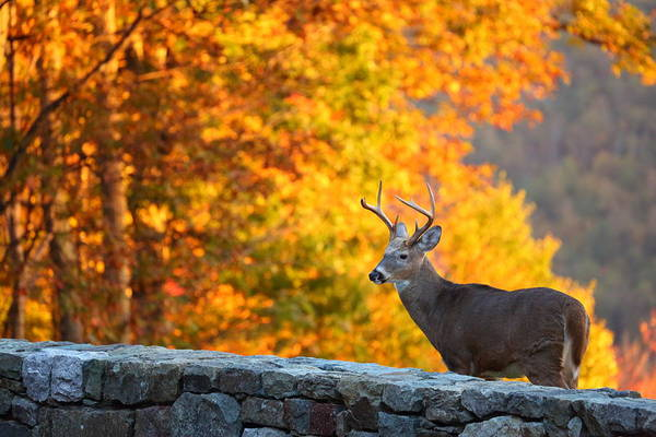 Metro Art Print featuring the photograph Buck In The Fall 06 by Metro DC Photography