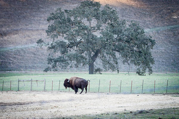 Bison Art Print featuring the photograph Buffalo And An Oak Tree by Dina Calvarese