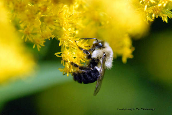 Bumble Bee Art Print featuring the photograph Bumble Bee by Larry Van Valkenburgh