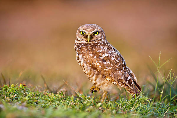 Horizontal Print featuring the photograph Burrowing Owl by TNWA Photography