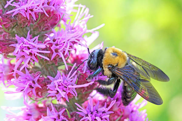 Becky Print featuring the photograph Busy As A Bee by Becky Lodes