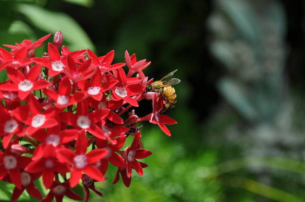 Flower Art Print featuring the photograph Busy Bee by Jose Diogo