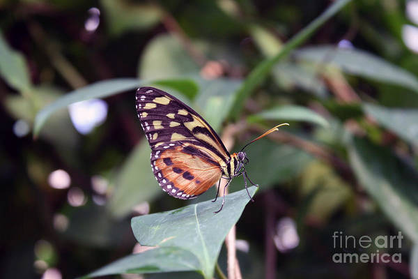 Art Print featuring the photograph Butterfly by Leah Green