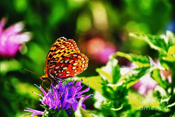 Butterfly Art Print featuring the photograph Butterfly On Flower by TommyJohn PhotoImagery LLC