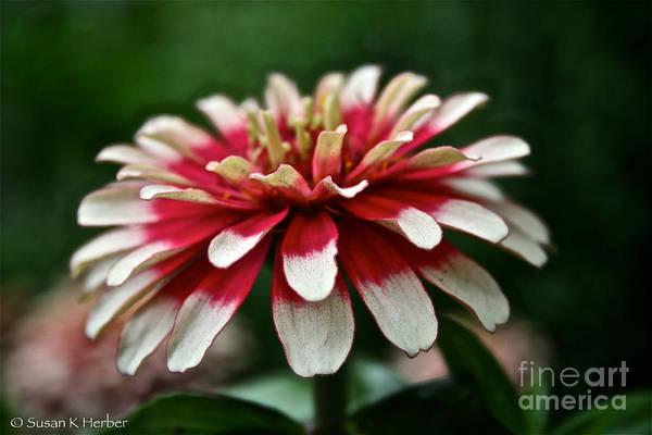 Garden Art Print featuring the photograph Candy Color Zinnia by Susan Herber
