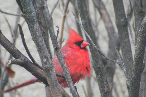 Northern Cardinal Art Print featuring the photograph Cardinal With Fluffed Feathers by Laurel Talabere
