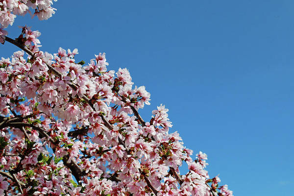 Blossoms Art Print featuring the photograph Cascade In Pink by Rachel Cohen