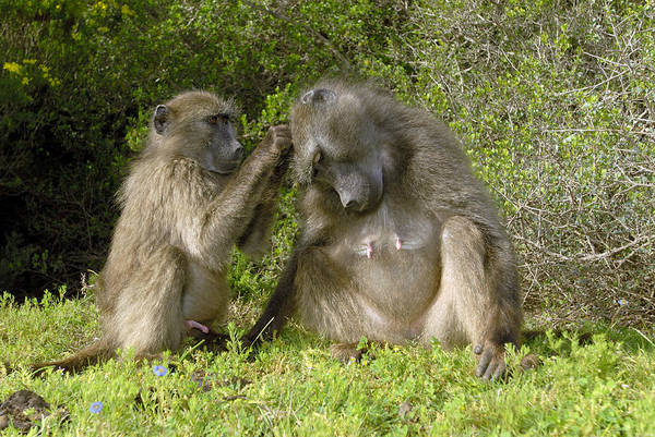 Papio Ursinus Art Print featuring the photograph Chacma Baboons Grooming by Peter Chadwick