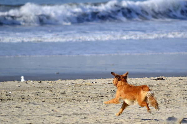 Golden Retriever Art Print featuring the photograph Chasing Your Dreams by Fraida Gutovich