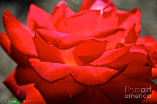Flower Art Print featuring the photograph Cherry Red Rose by Susan Herber