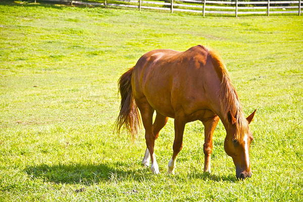 Horse Chestnut Grazing Pasture Farm Grass Scenic Art Print featuring the photograph Chestnut Grazing by Alice Gipson