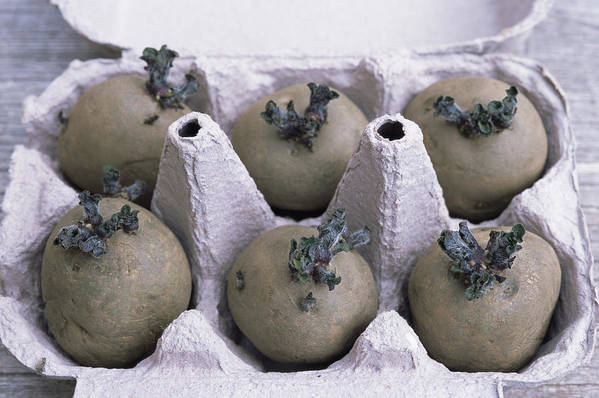 'charlotte' Art Print featuring the photograph Chitted Potatoes In An Egg Box by Maxine Adcock