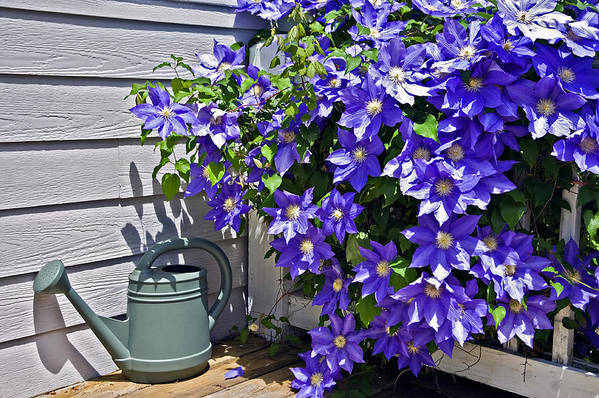 Clematis Art Print featuring the photograph Clematis And Watering Can by Susan Leggett