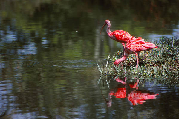 Birds Art Print featuring the photograph Color Me Ibes by Bob Whitt