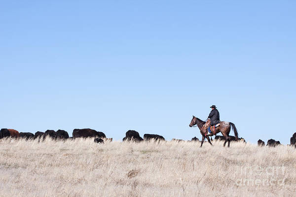 Cowboy Art Print featuring the photograph Cowboy And Cattle by Cindy Singleton