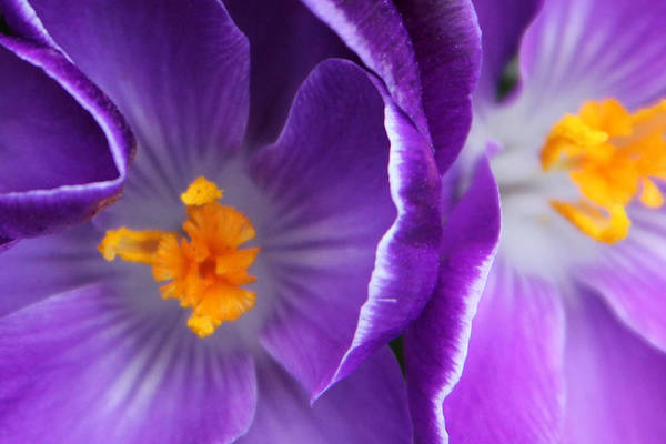 Flower Art Print featuring the photograph Crocus Haze by Carolyn Stagger Cokley