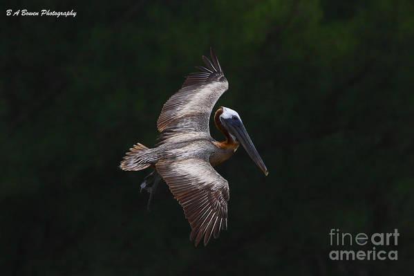 Brown Pelican Art Print featuring the photograph Cruising by Barbara Bowen