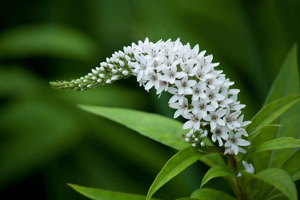 Gooseneck Loosestrife Art Print featuring the photograph Curving Bloom by Jessica Lowell