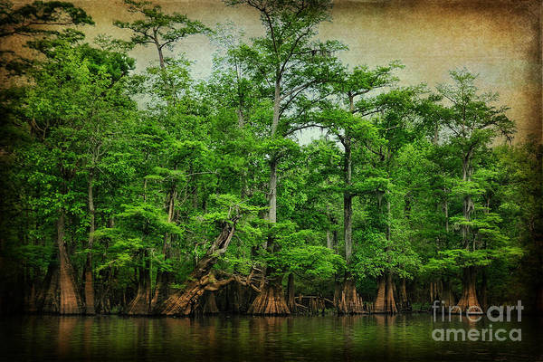 Cypress Art Print featuring the photograph Cypress Trees by Joan McCool