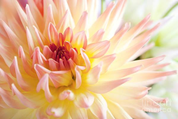 Dahlia Art Print featuring the photograph Dahlia Flower 01 by Nailia Schwarz