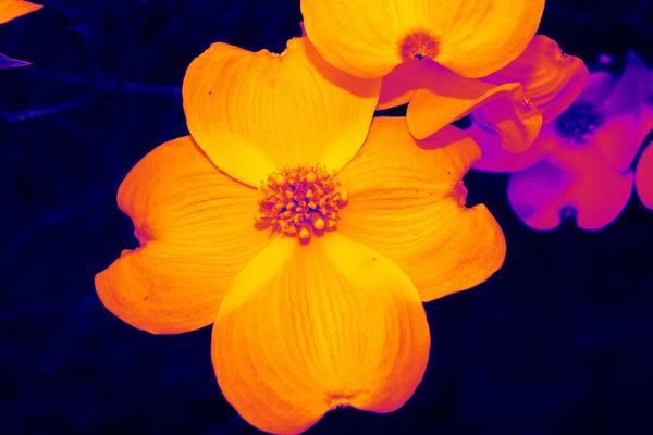 Flower Art Print featuring the photograph Daring Dogwood I by Tessa Murphy