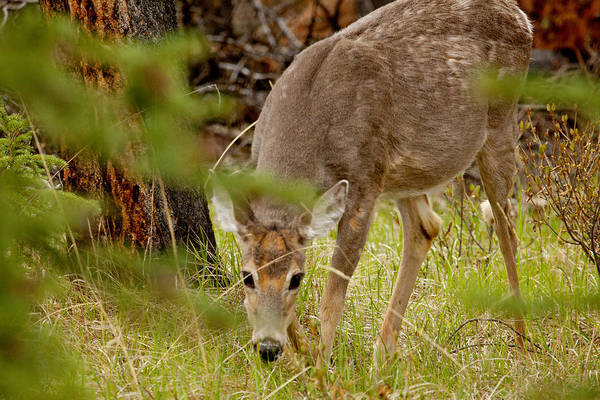 Canadian Rockies Art Print featuring the photograph Deer 1661 by Larry Roberson