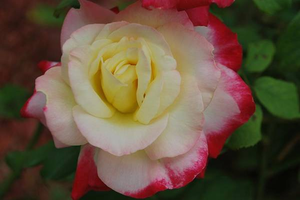 Rose Art Print featuring the photograph Delicate Rose by Michelle Cruz
