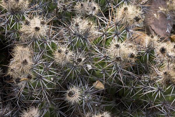 Baja California Art Print featuring the photograph Devil's Club Cactus (gousonia Invicta) by Bob Gibbons
